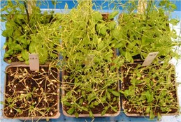 (upper panel) Arabidopsis under normal condition; growth of control plant (left) the same as plants (middle and right) with increased ACBP2 protein (lower panel) Arabidopsis under drought condition; growth of control plant (left) much slower than plants (middle and right) with increased ACBP2 protein