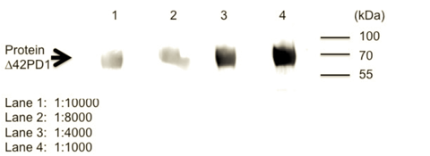 Figure 1: Western blot - Anti-Δ42PD1 antibody [CH101] at different dilution